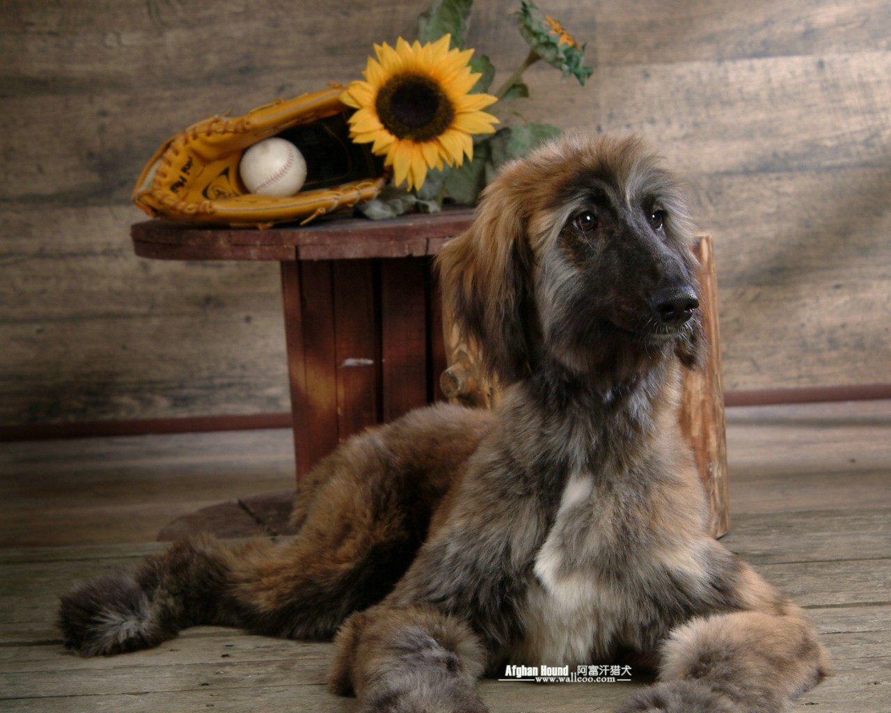 Sims 3 Afghan Hound 阿富汗猎犬...