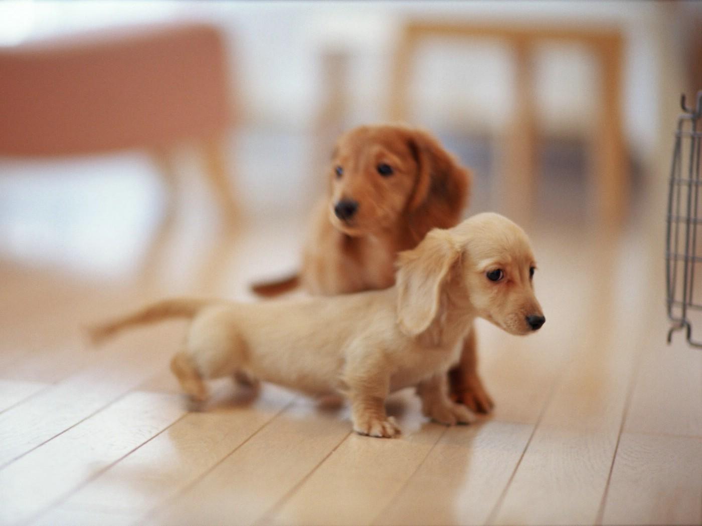 明星图片壁纸 宠物狗狗图鉴迷你腊肠犬壁纸第二集壁纸图片动物壁纸