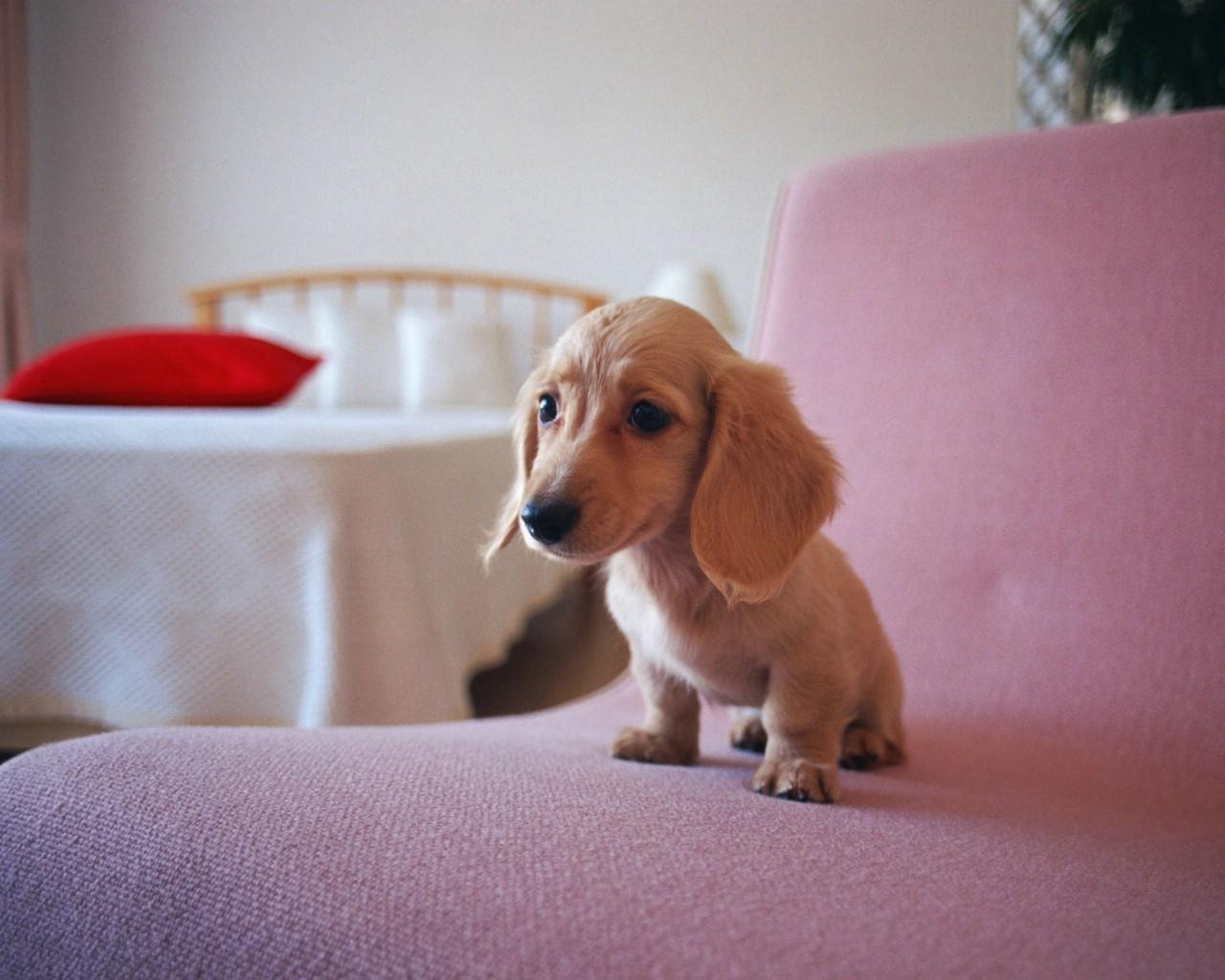 壁纸1280×1024可爱腊肠狗宝宝壁纸壁纸 宠物狗狗图鉴迷你腊肠犬壁纸