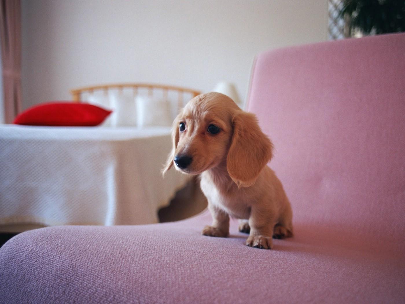 宠物狗狗图鉴迷你腊肠犬壁纸第二集壁纸图片动物壁纸