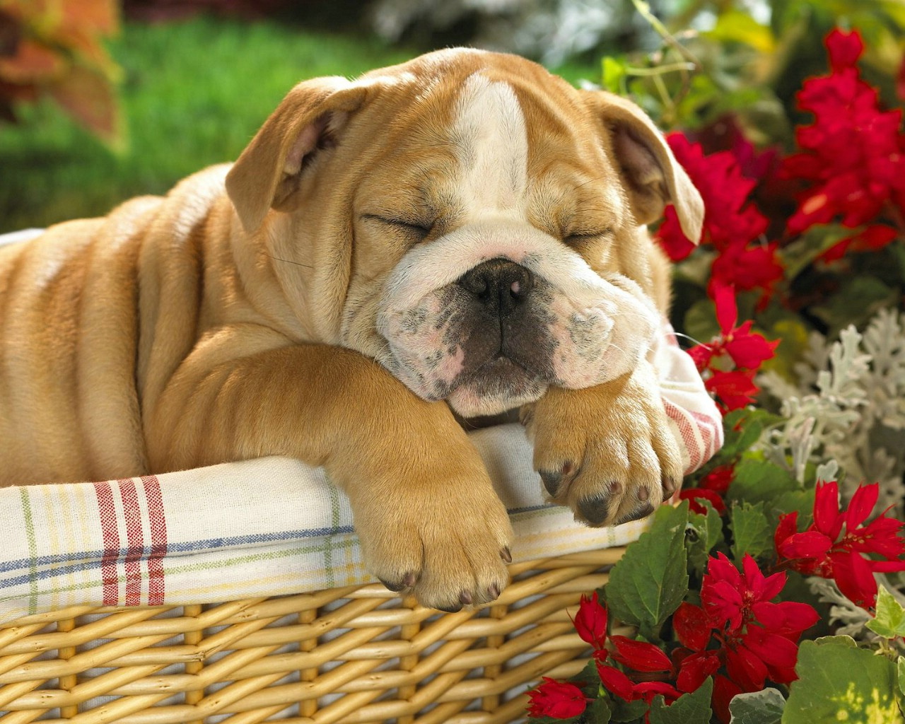 仰天动物,睡觉的动物away 睡觉的小狗睡觉的可爱小狗 图片素材(编号