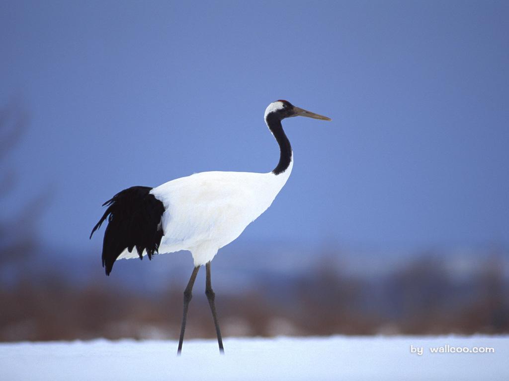 丹顶鹤壁纸 鹤舞 仙鹤 丹顶鹤 云鹤图片 Crane
