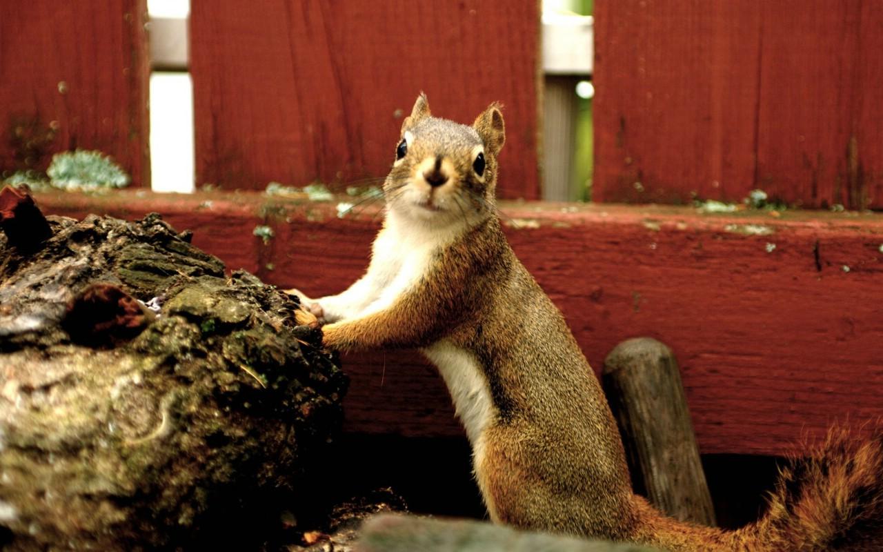 壁纸 花栗鼠/后院里的花栗鼠 可爱花栗鼠图片壁纸