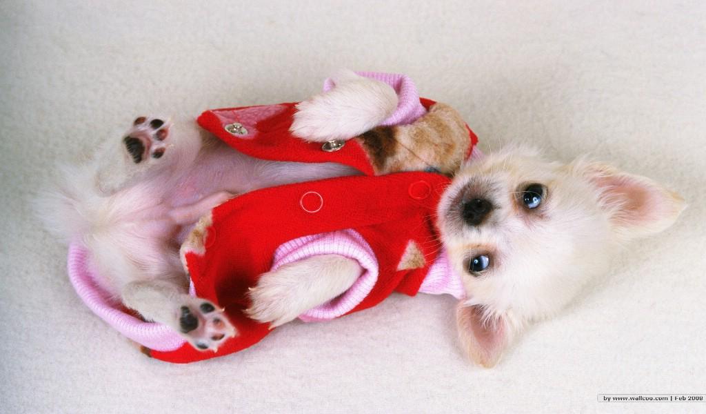 壁纸1024×600穿衣服的小狗狗图片 lovely puppy dogs baby puppies