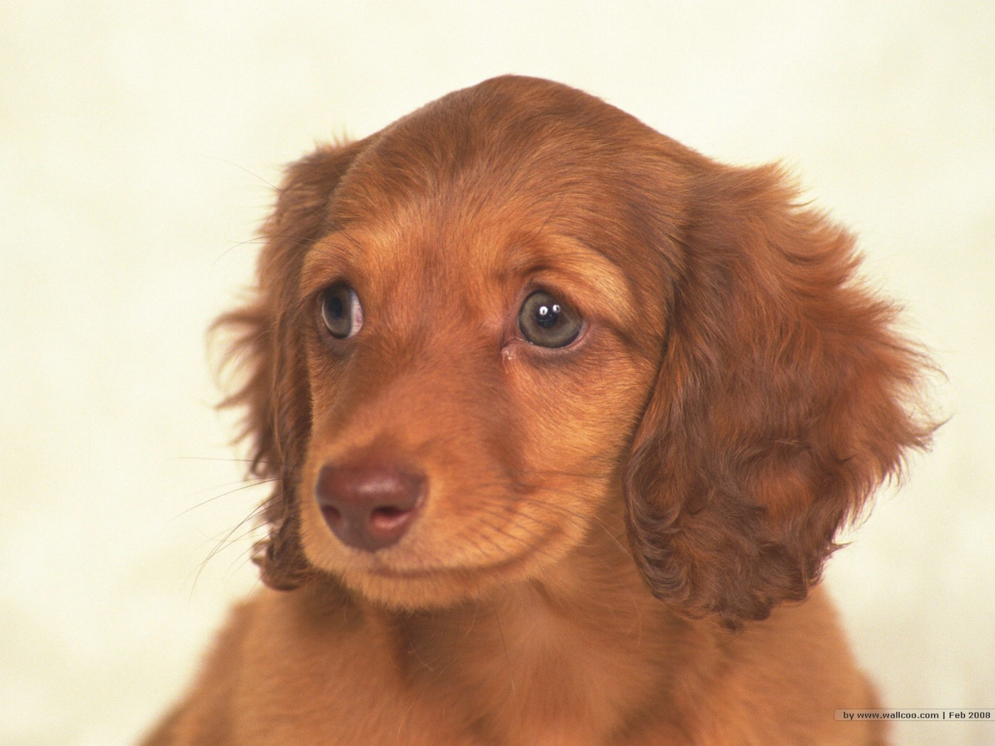 壁纸1400×1050可爱幼犬小狗狗图片