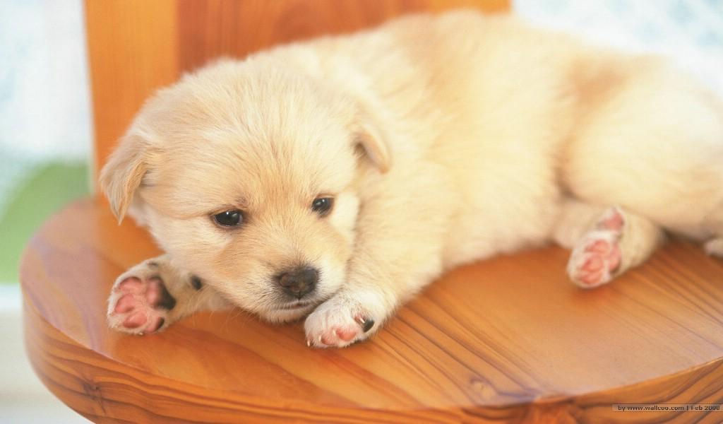 壁纸1024×600可爱小狗宝宝图片 lovely puppy dogs