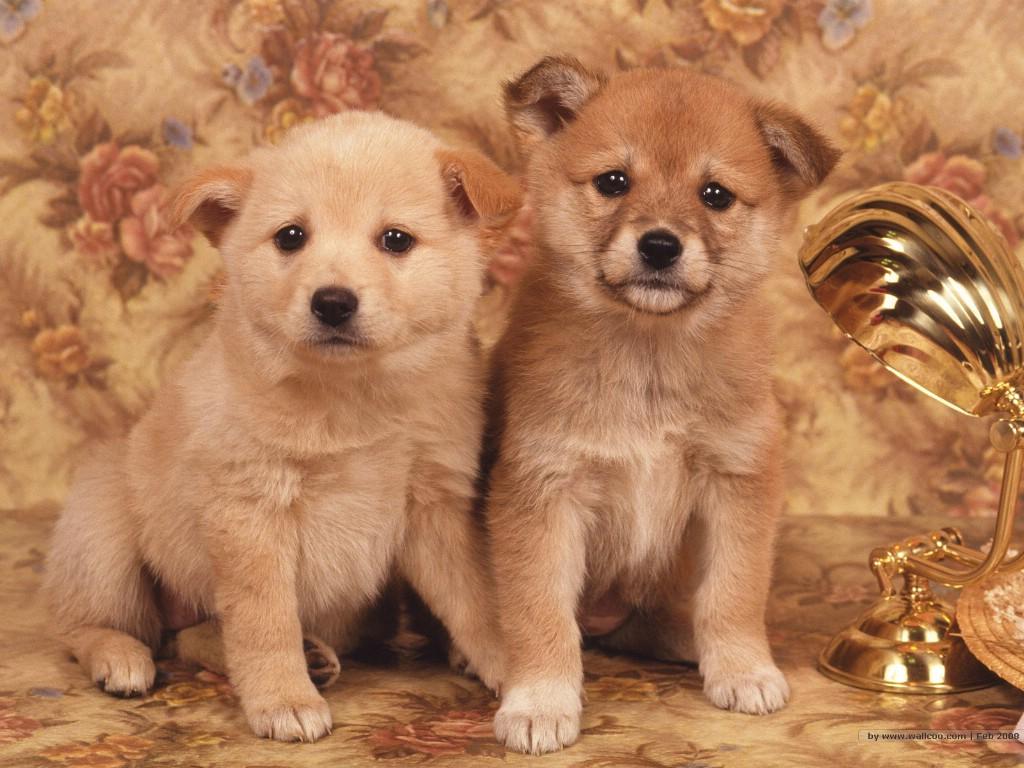 壁纸1024×768可爱幼犬小狗狗图片