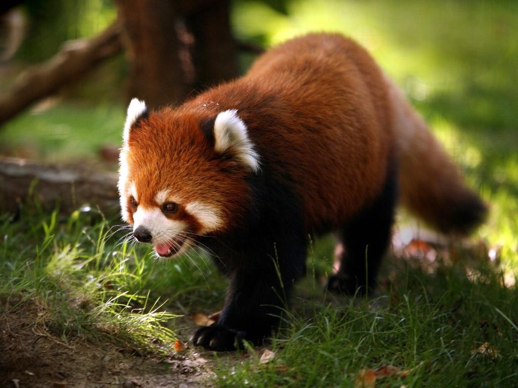 768小熊猫 趣味动物壁纸壁纸,精彩瞬间 趣味动物壁纸壁纸图片高清图片