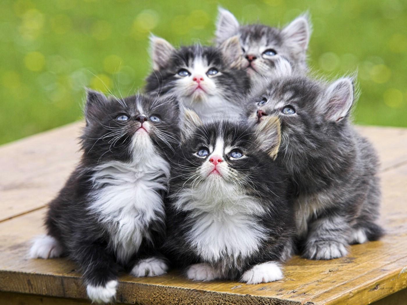 挪威森林小猫图片展示图片