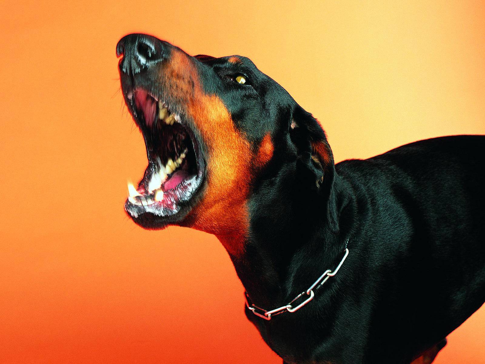 壁纸 狗狗/凶猛表情趣味可爱狗狗图片壁纸