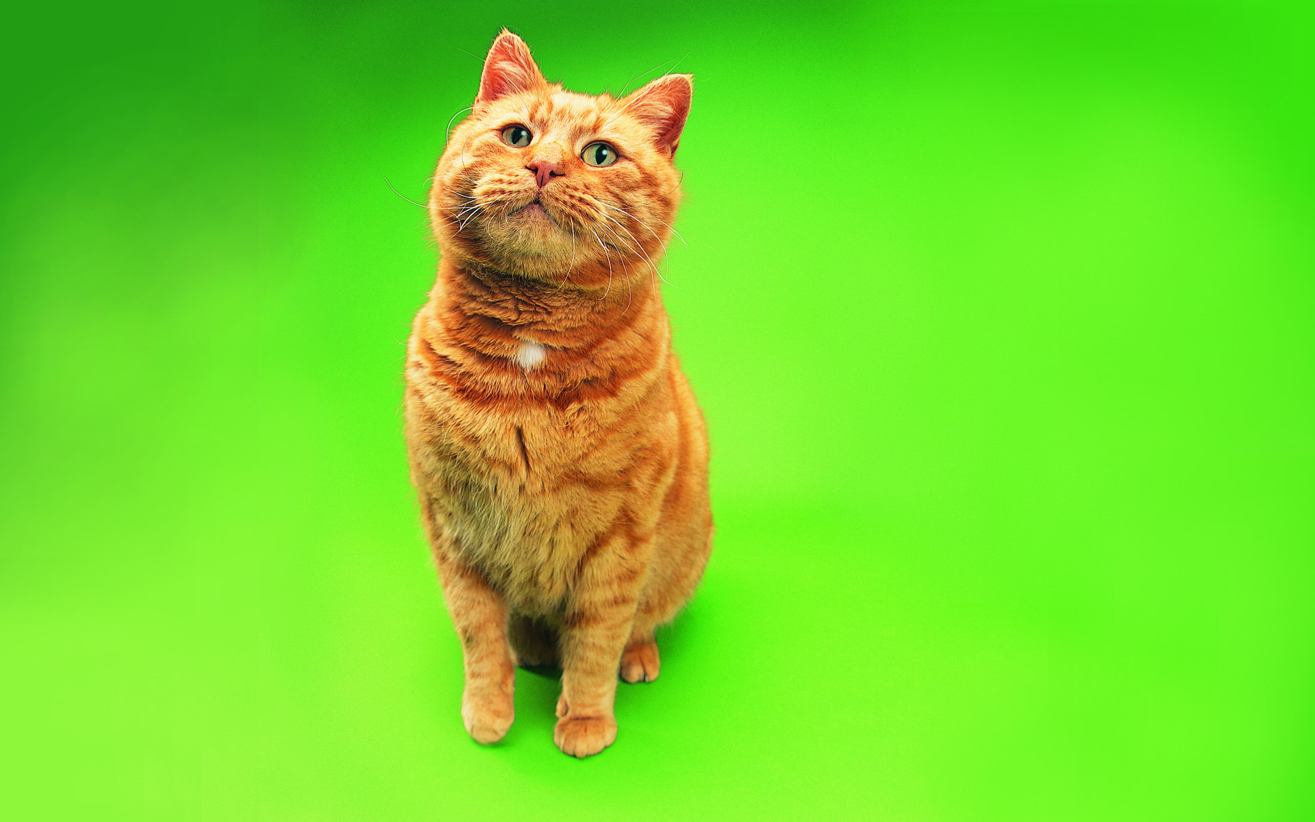 壁纸 趣怪/肥猫趣味可爱小猫图片壁纸