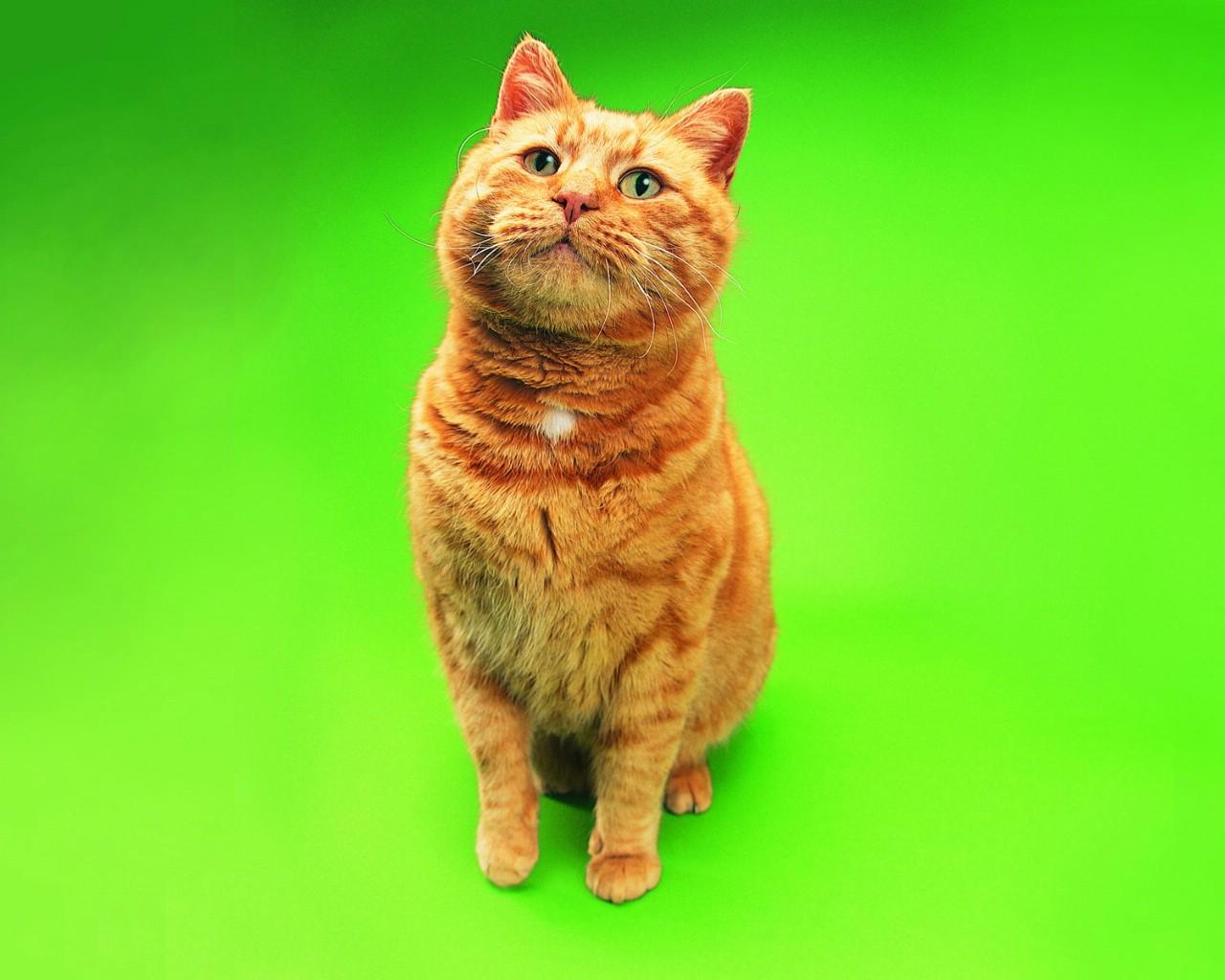 肥猫 趣味可爱小猫图片壁纸
