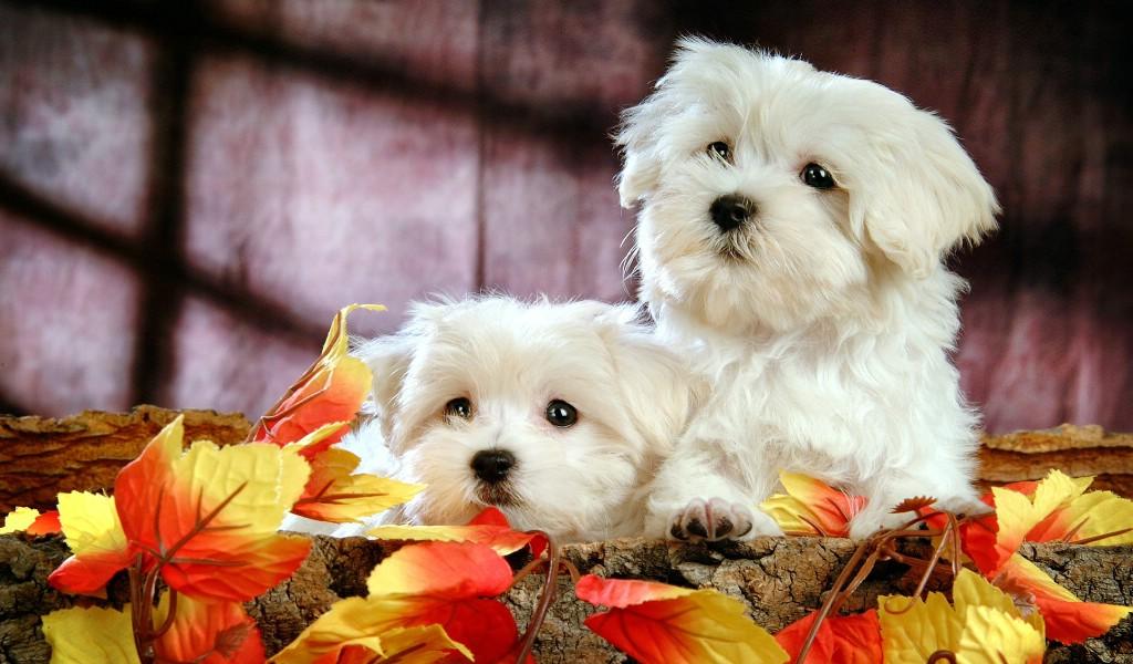 壁纸1024×600可爱毛茸茸小狗狗图片