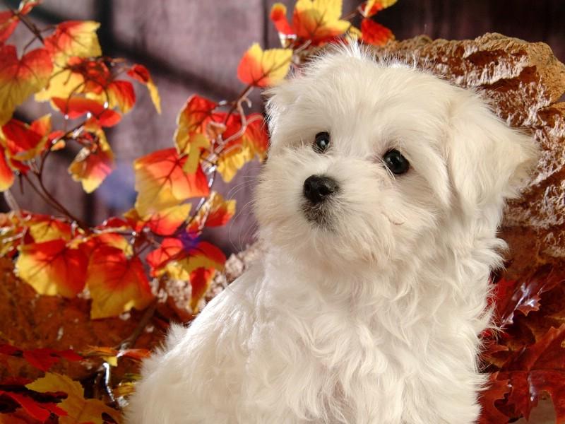 壁纸800×600可爱白色小狗狗图片