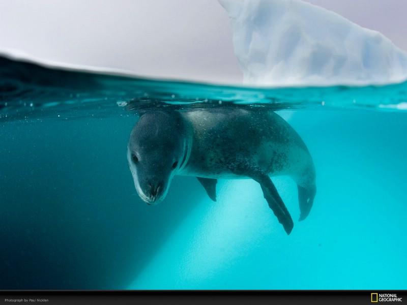 壁纸800 600国家地理 野生动物摄影壁纸集 南极海豹图片 高清图片