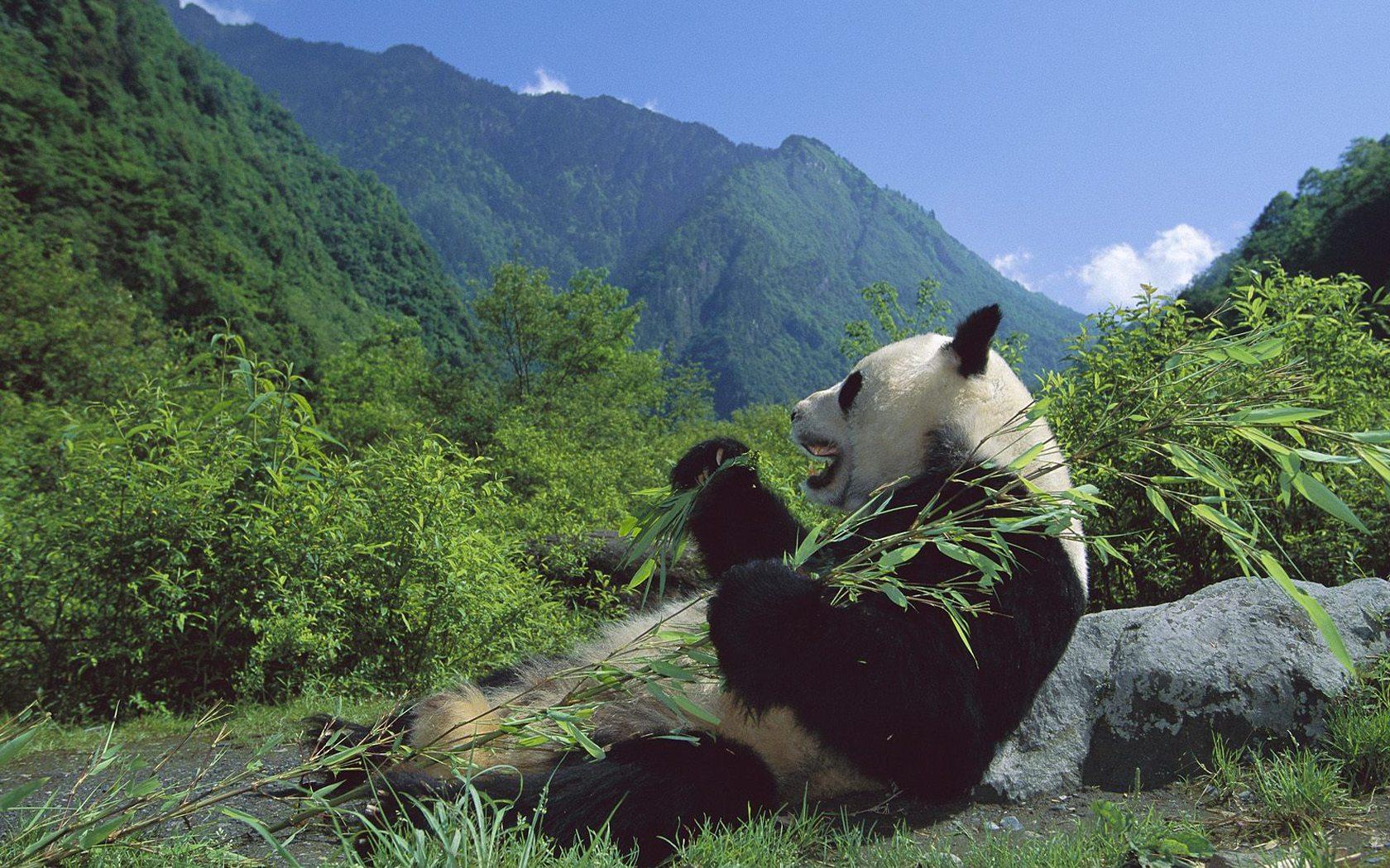 中国世界遗产之——四川大熊猫栖息地 - 教育星空 - 教育星空