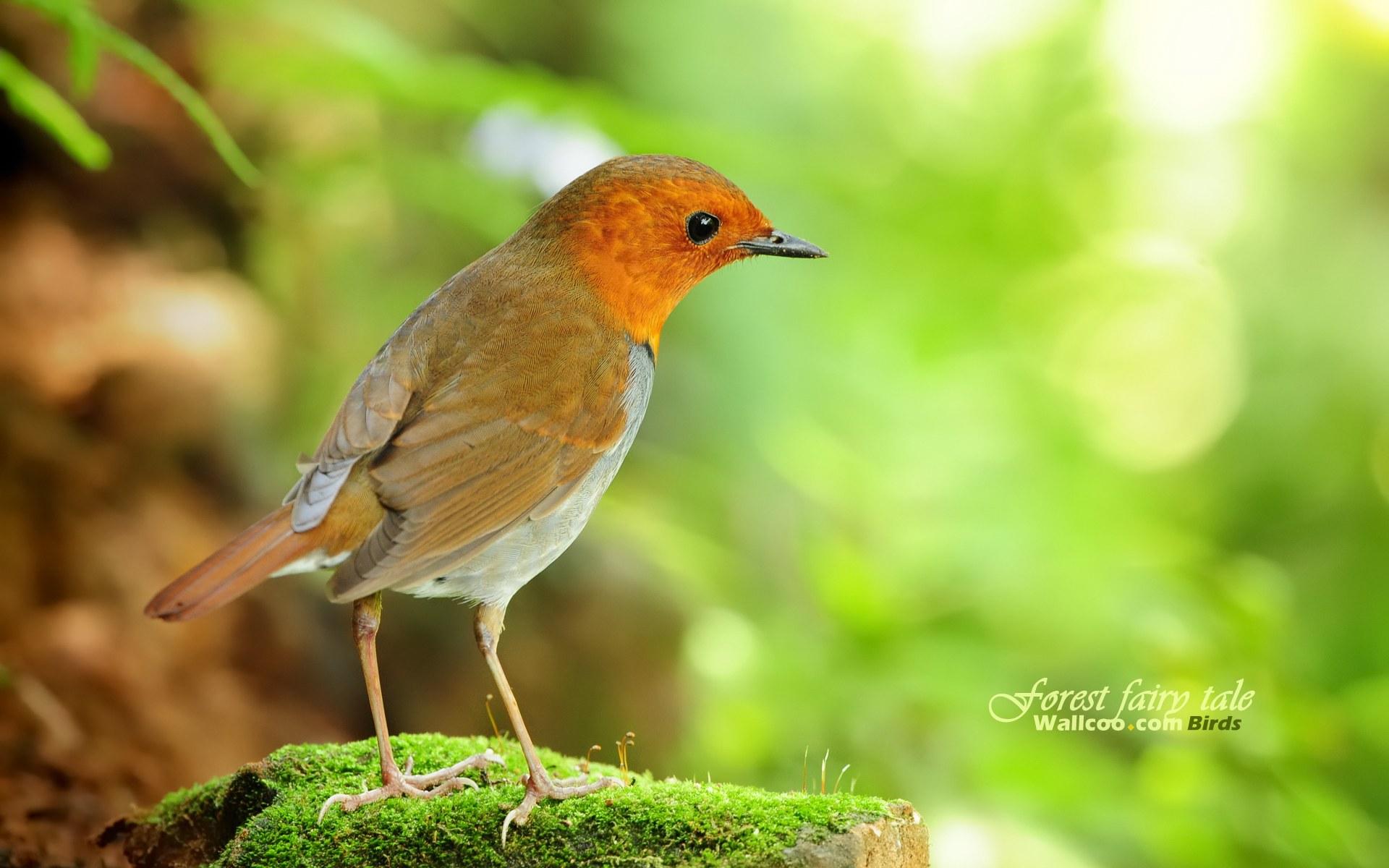 壁纸 可爱 小鸟/树林里的小精灵春天可爱小鸟壁纸日本歌鸲小鸟灵气迷人小鸟...