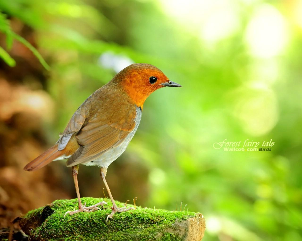 壁纸/树林里的小精灵春天可爱小鸟壁纸 日本歌鸲小鸟灵气迷人小鸟...