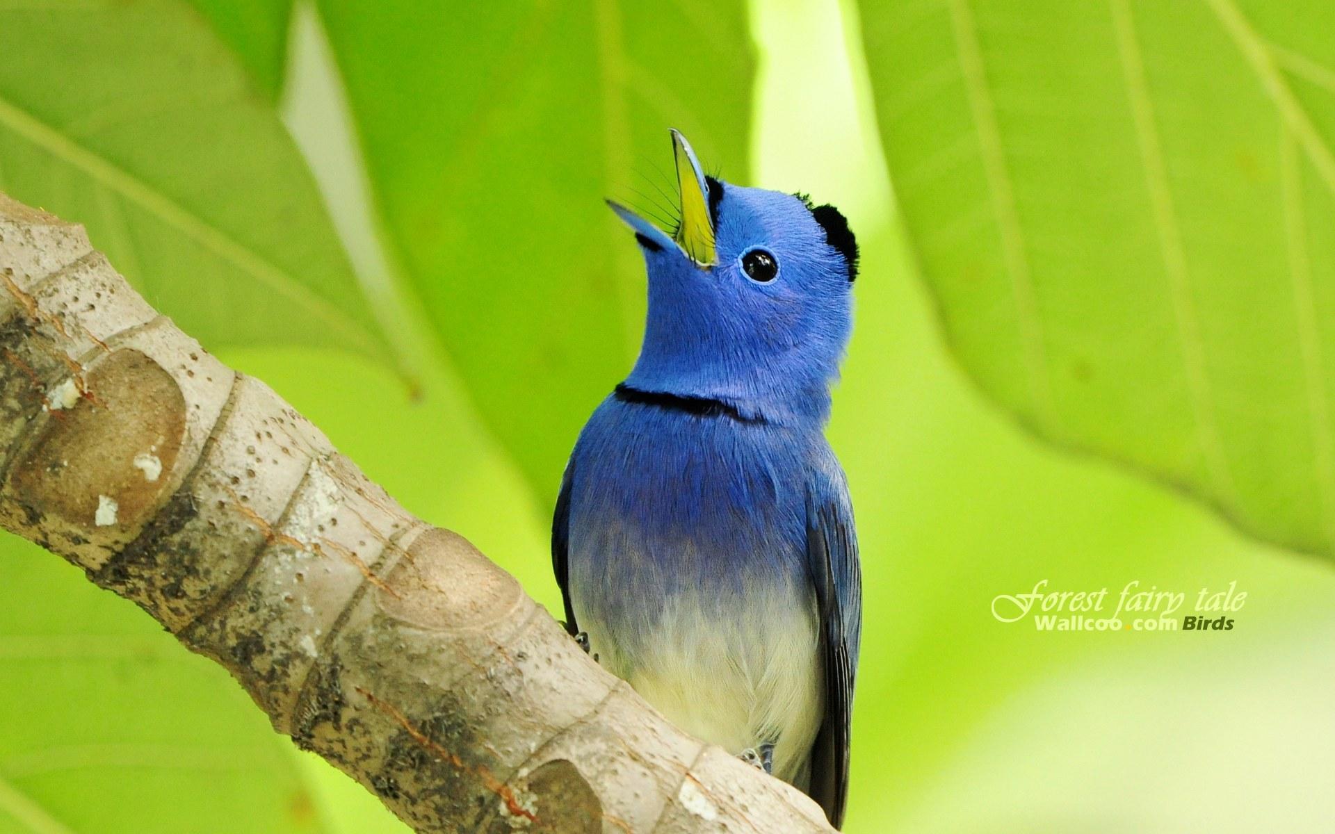 壁纸 小鸟/树林里的小精灵春天可爱小鸟壁纸蓝色精灵小鸟黑枕蓝鹟小鸟...