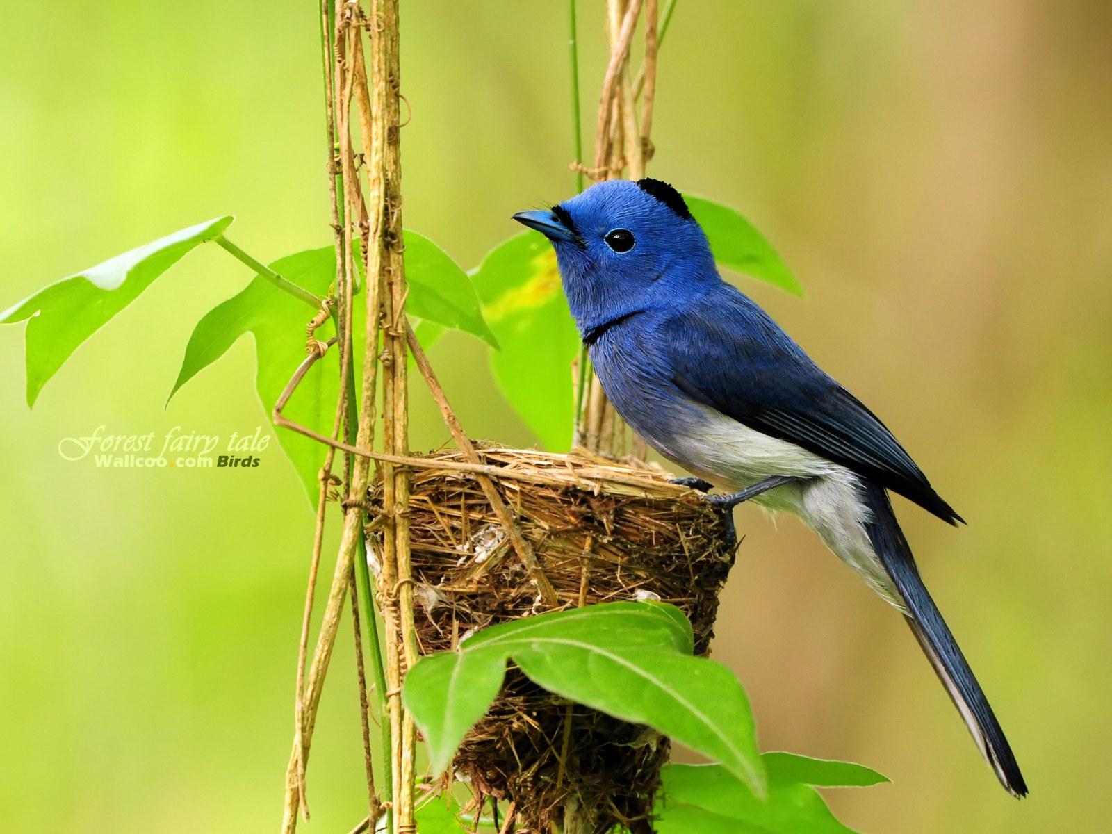 壁纸 可爱 小鸟/树林里的小精灵春天可爱小鸟壁纸 宝蓝色可爱小鸟黑枕蓝鹟小鸟...