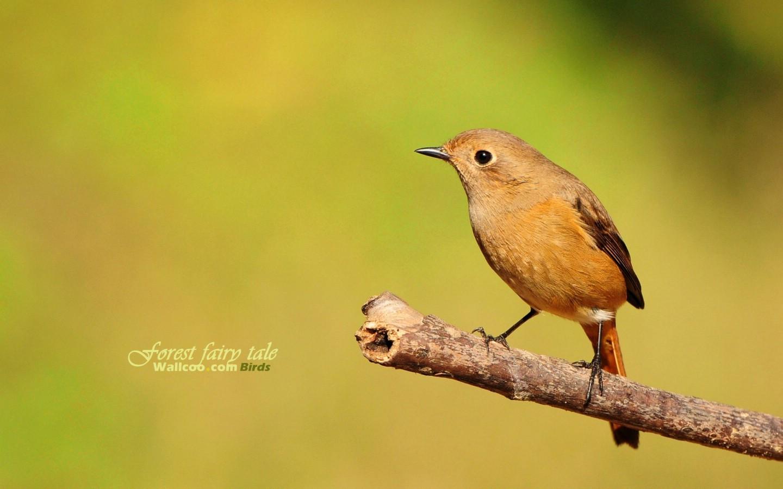 壁纸 小鸟/树林里的小精灵春天可爱小鸟壁纸 北红尾鸲休闲小鸟图片壁纸
