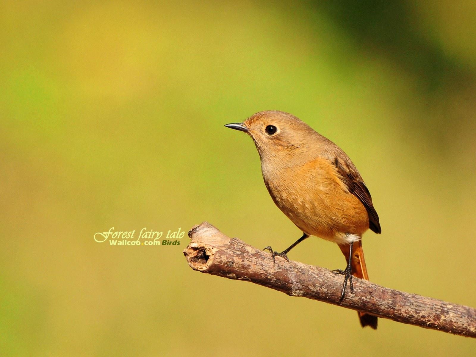 壁纸 小鸟/树林里的小精灵春天可爱小鸟壁纸北红尾鸲休闲小鸟图片壁纸