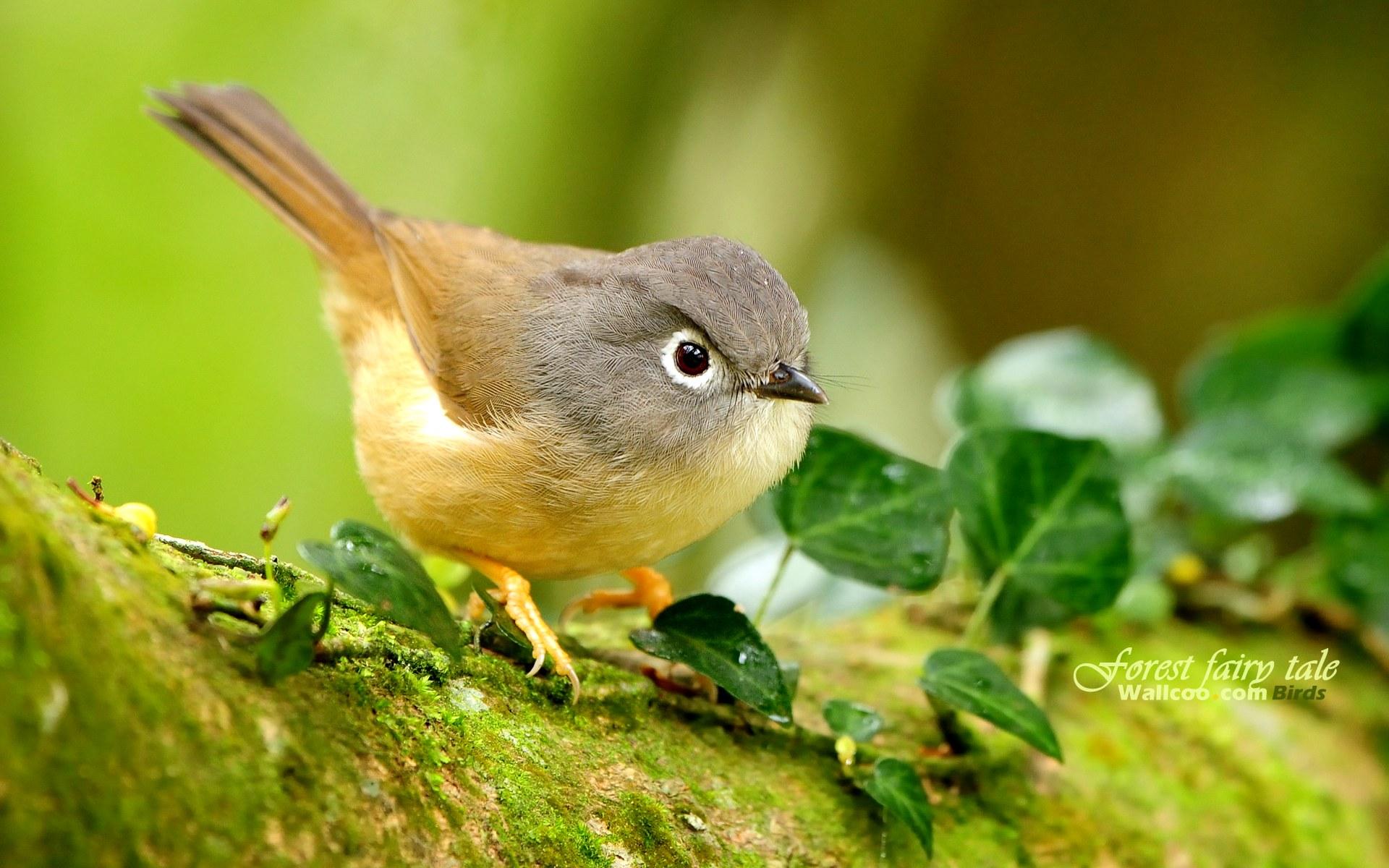 壁纸/树林里的小精灵春天可爱小鸟壁纸绣眼画眉鸟图片灵气小鸟图片...