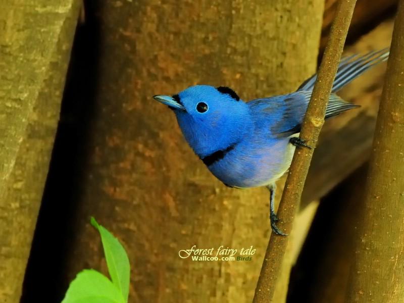 壁纸 小鸟/树林里的小精灵 春天可爱小鸟壁纸 蓝色小鸟黑枕蓝鹟小鸟图片...