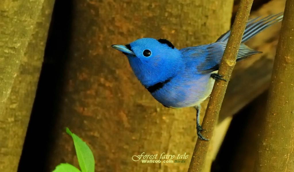 黑枕蓝鹟小鸟图片壁纸壁纸 树林里的小精灵可爱小鸟壁纸图片动物壁纸