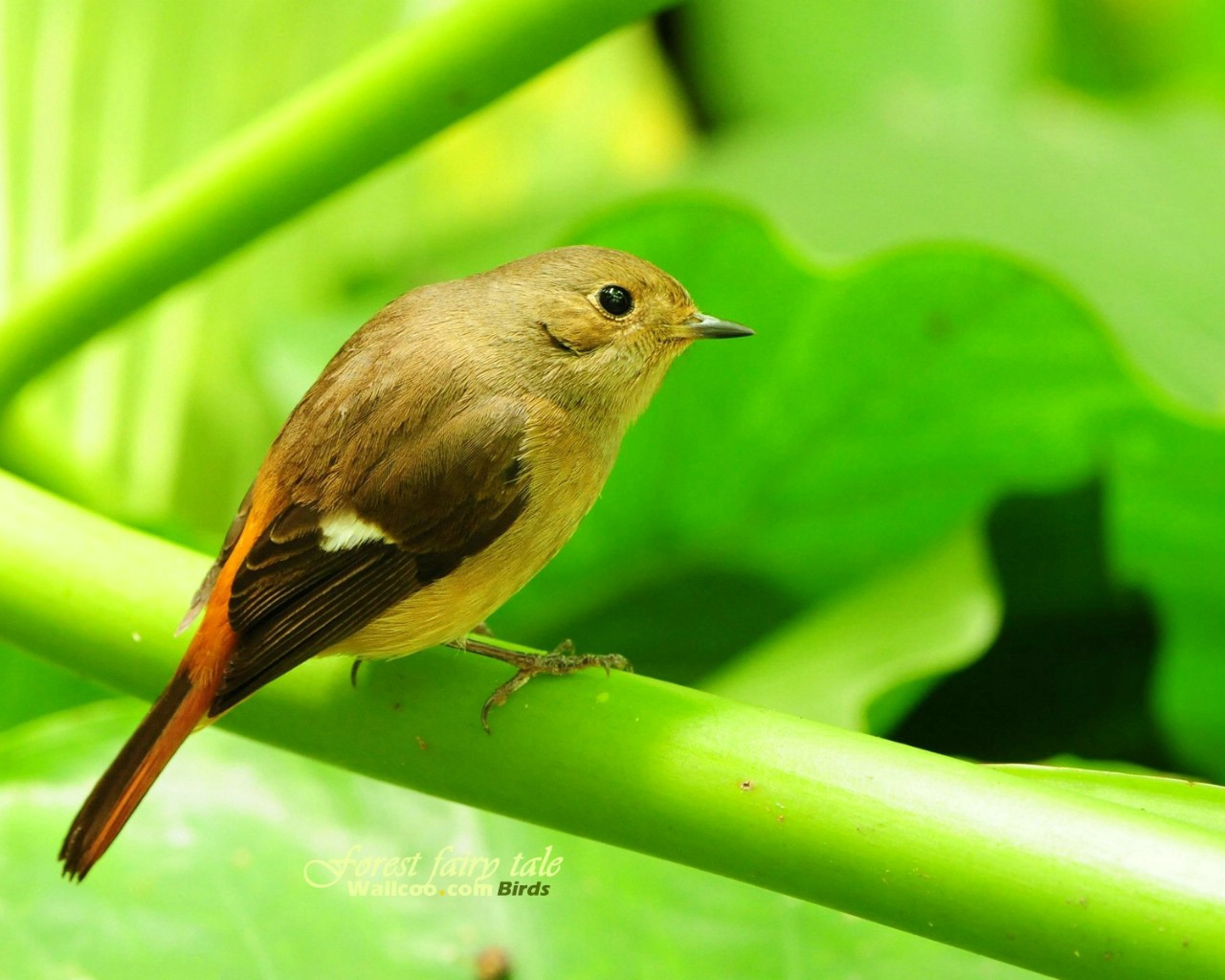 壁纸/树林里的小精灵 春天可爱小鸟壁纸 黄尾鸲灵气小鸟图片壁纸