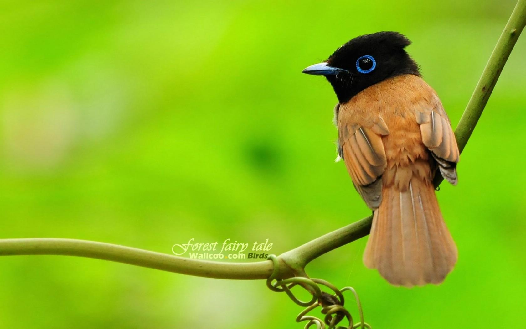 安卓 壁纸/树林里的小精灵春天可爱小鸟壁纸寿带鸟 可爱灵气小鸟图片壁纸