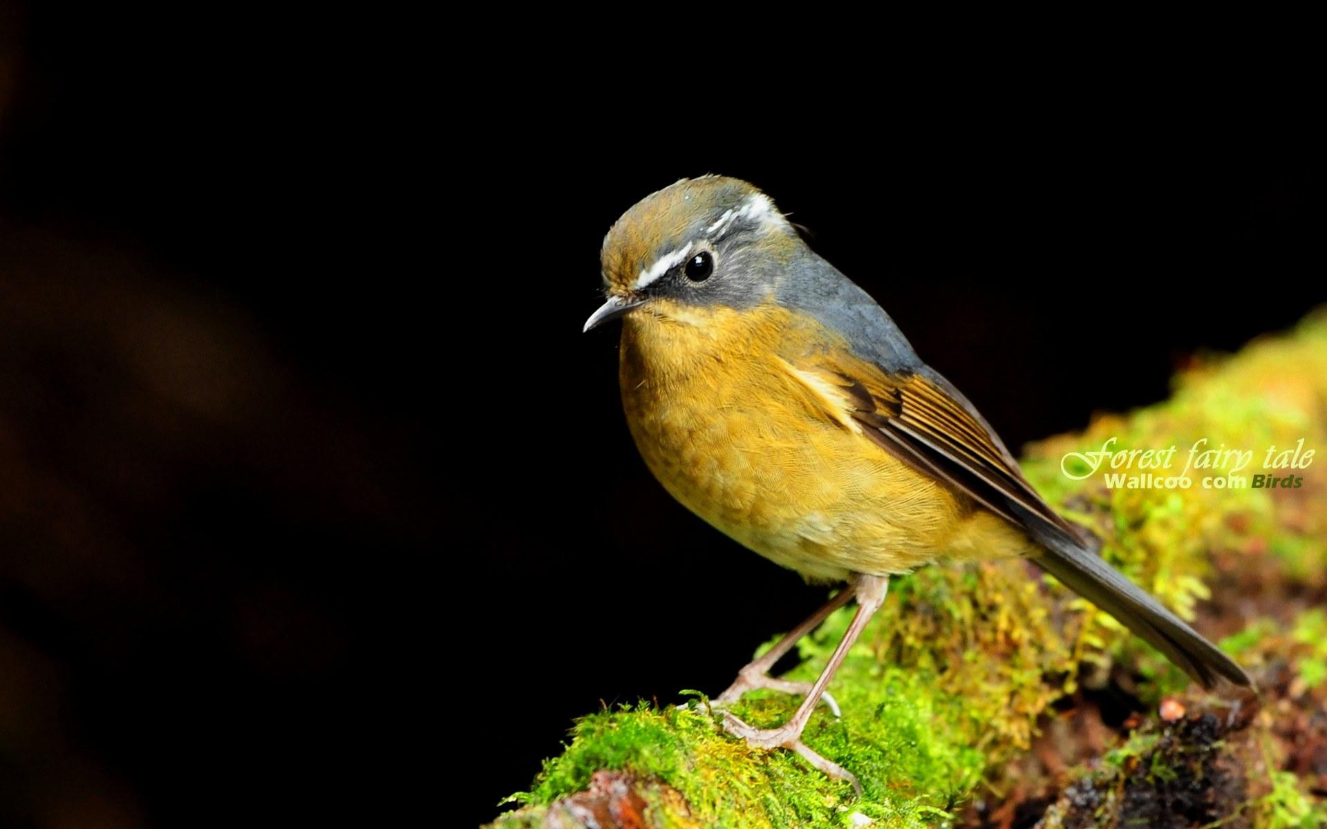 壁纸/树林里的小精灵春天可爱小鸟壁纸 白眉林鸲灵气可爱小鸟图片...