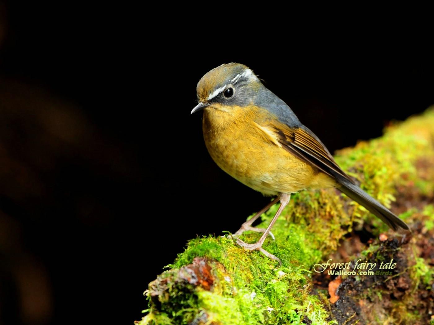 壁纸/树林里的小精灵 春天可爱小鸟壁纸 白眉林鸲灵气可爱小鸟图片...