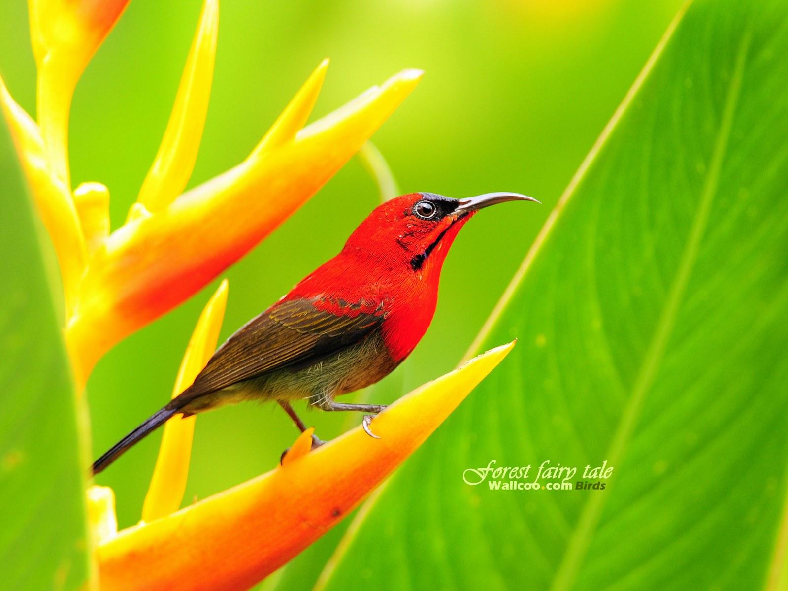 可爱 壁纸 小鸟/树林里的小精灵 春天可爱小鸟壁纸 黄腹太阳鸟雄鸟如画般的艳丽...
