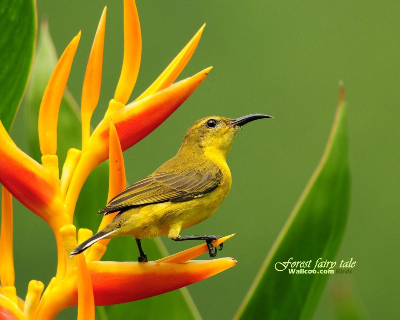 壁纸/树林里的小精灵 春天可爱小鸟壁纸 黄腹太阳鸟雌鸟如画般的艳丽...