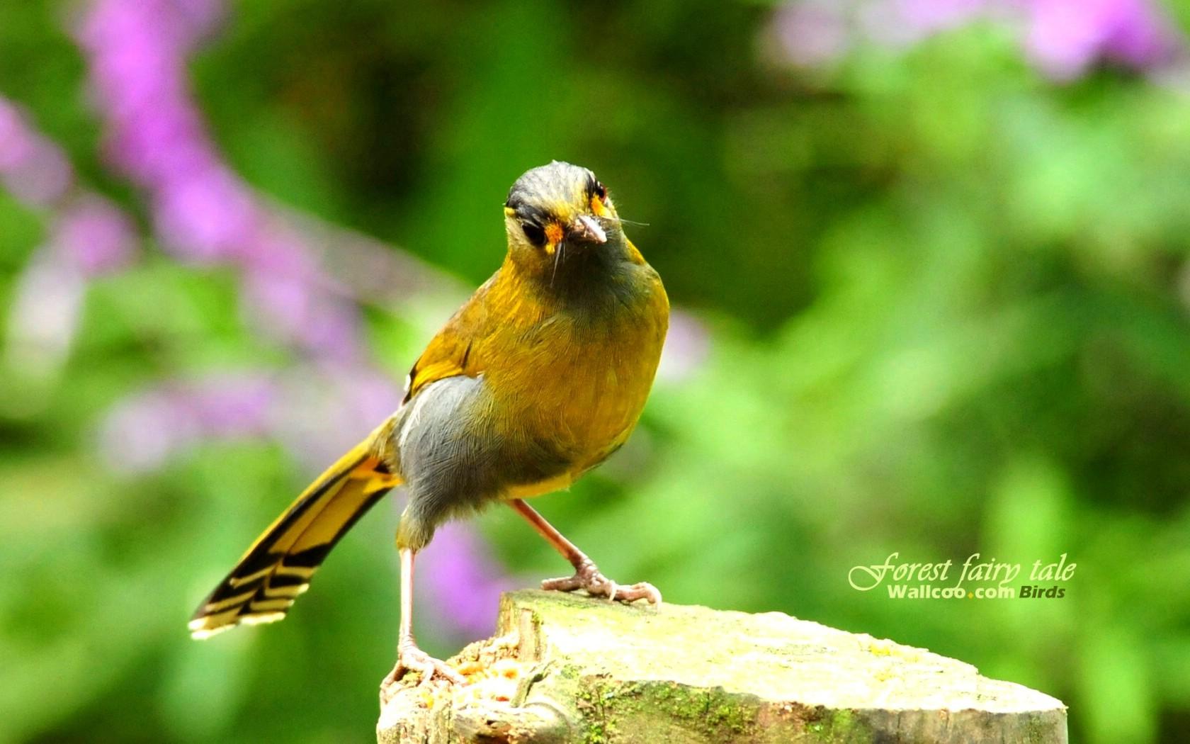 壁纸/树林里的小精灵 春天可爱小鸟壁纸 薮鸟黄胸薮眉小鸟树林小鸟...