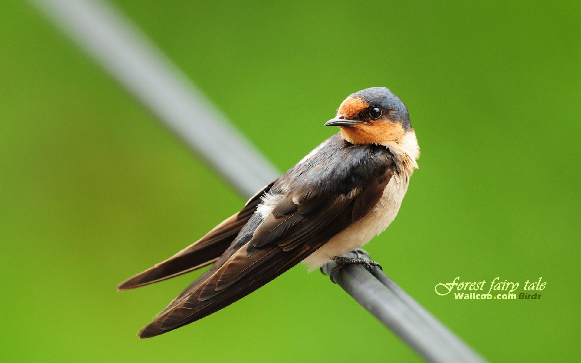壁纸/树林里的小精灵春天可爱小鸟壁纸家燕燕子春天小燕子图片壁纸