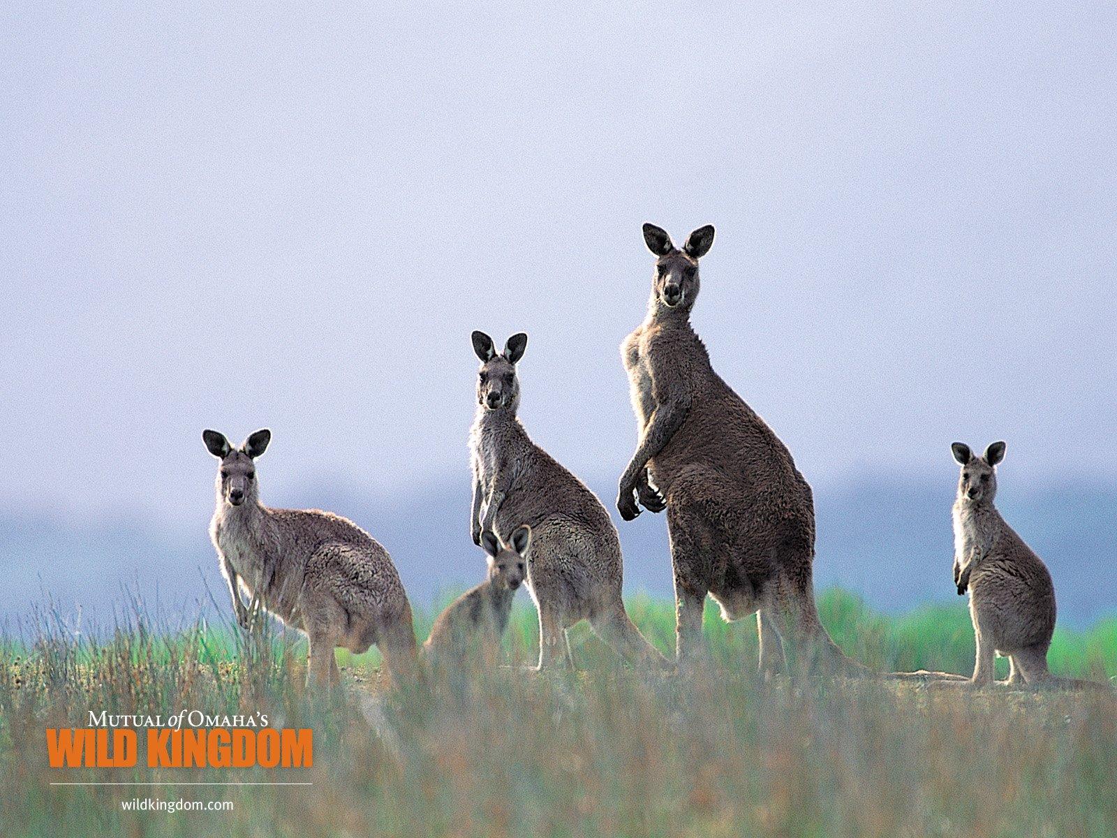 壁纸/kangaroos 袋鼠桌面壁纸