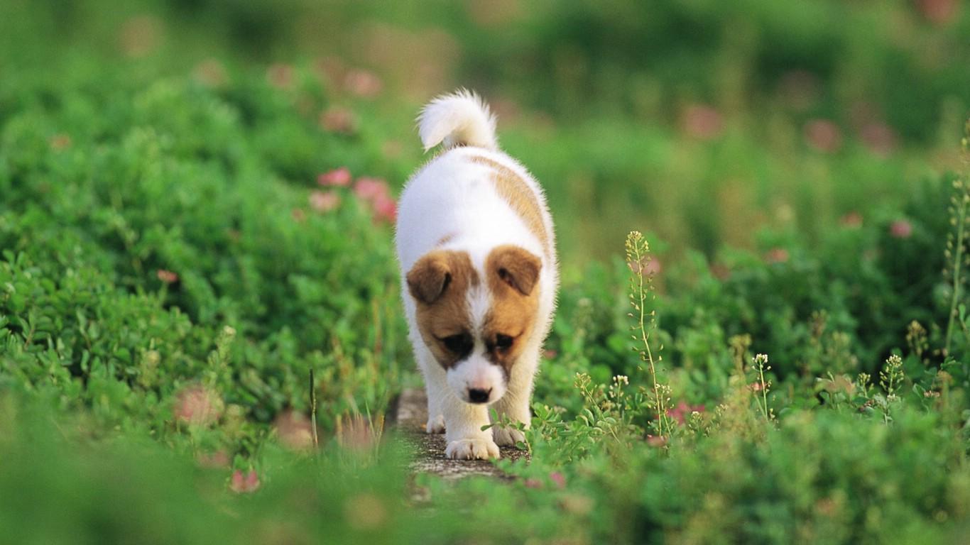 壁纸1366×768可爱小狗狗壁纸