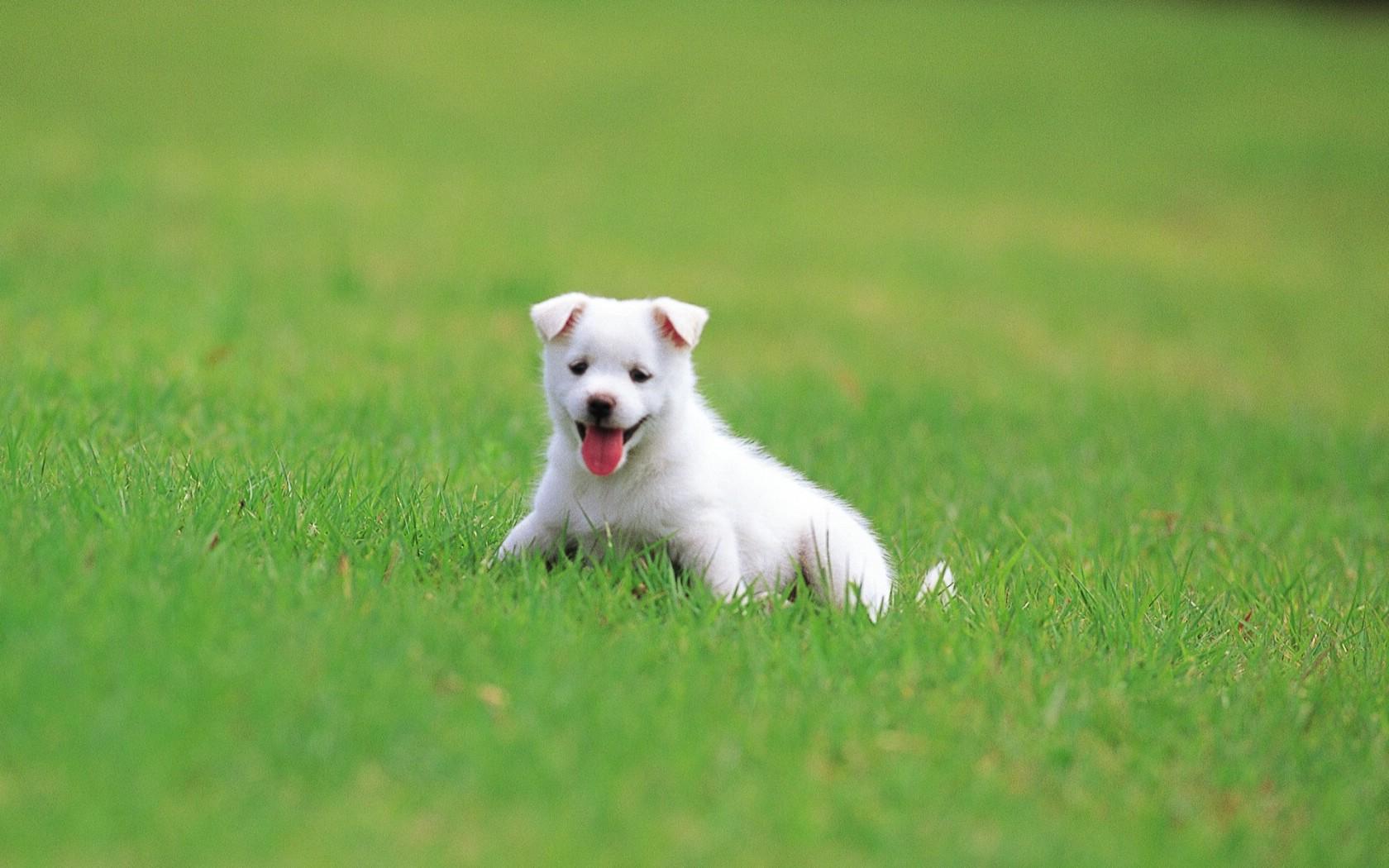 壁纸1680×1050可爱小狗狗壁纸