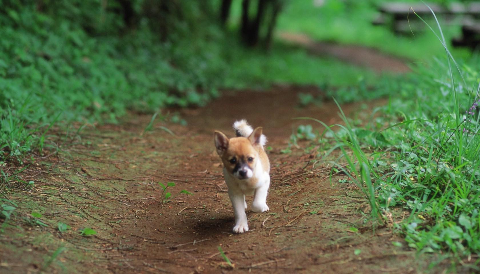 神犬小七,可爱拉布拉多狗狗
