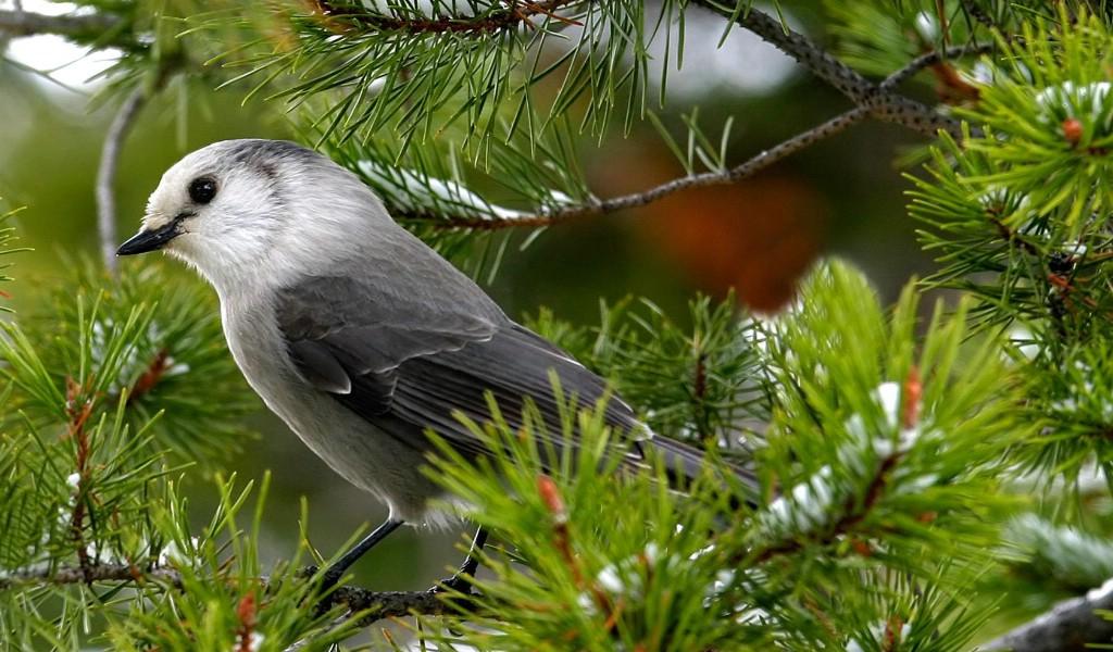 树上小鸟壁纸壁纸