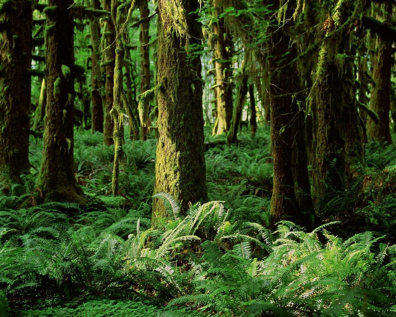 华盛顿 葵纳特雨林壁纸壁纸,地球瑰宝大尺寸自然风景壁纸精选 第三