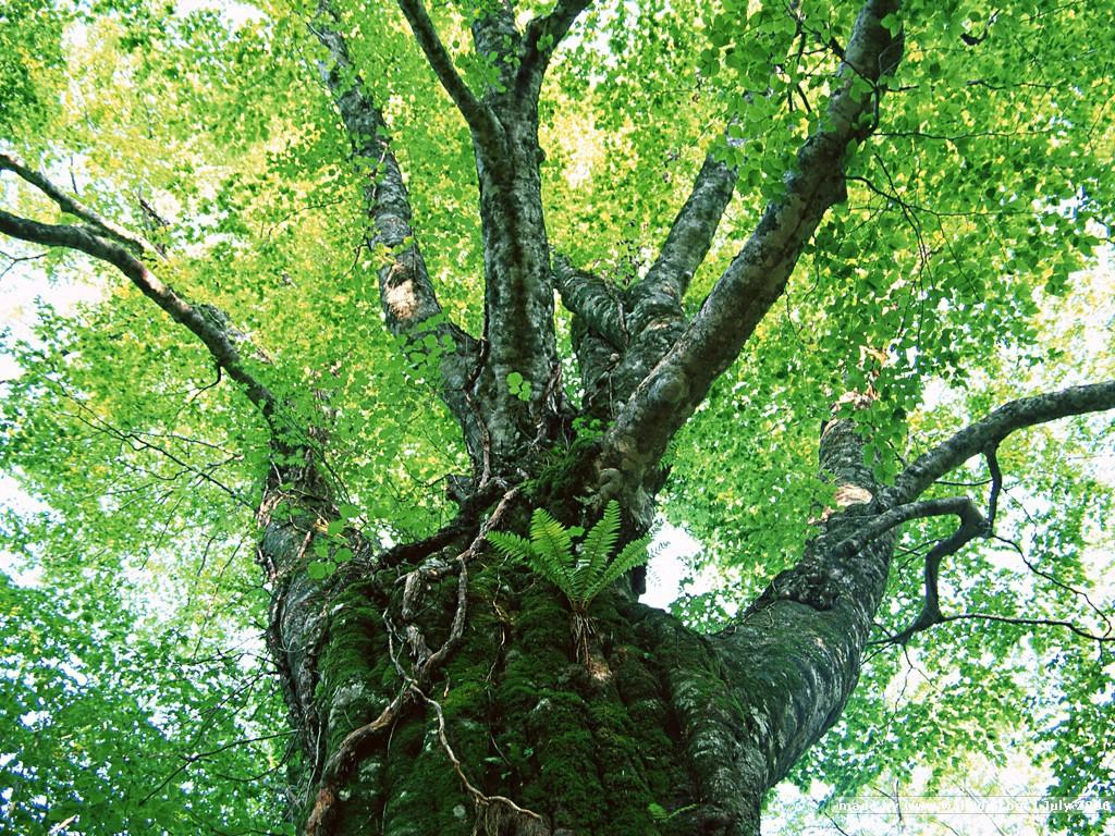 大树风景桌面壁纸_壁纸1024×768茂盛森林树木 树木成荫 茂盛树木图片壁纸 Desktop ...
