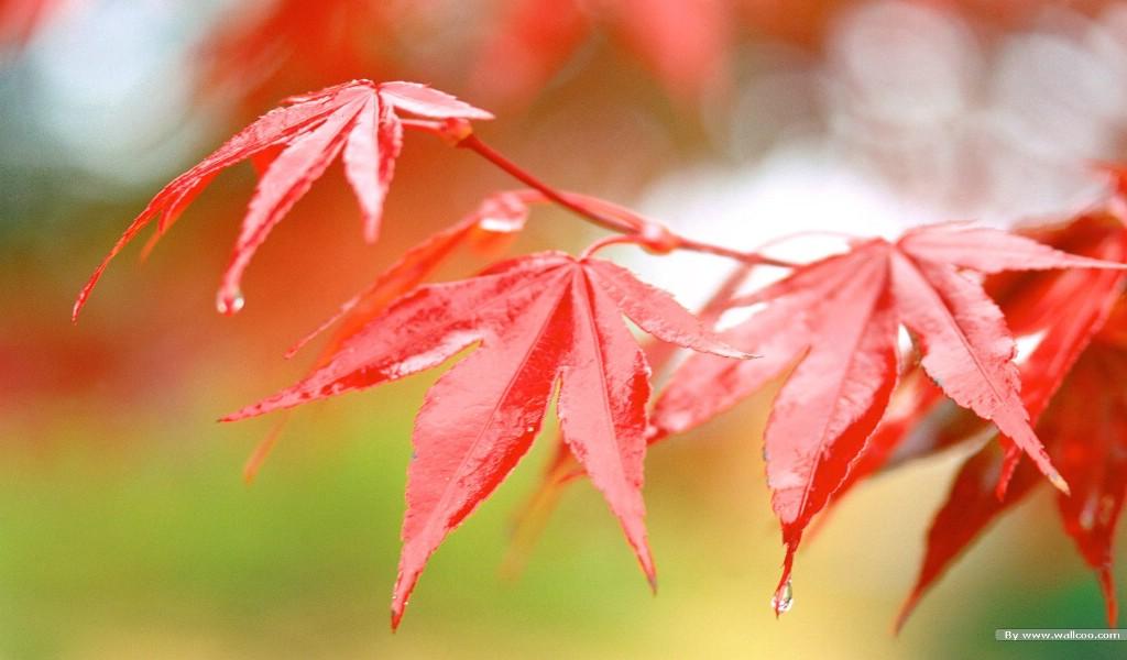 枫叶图片壁纸 浓浓秋色秋天树叶摄影壁纸图片风景壁纸风景图片素材