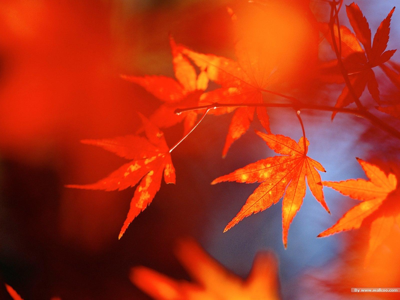 1200壁纸 浓郁秋色 秋天红色的枫叶图片壁纸,浓浓秋色 秋天