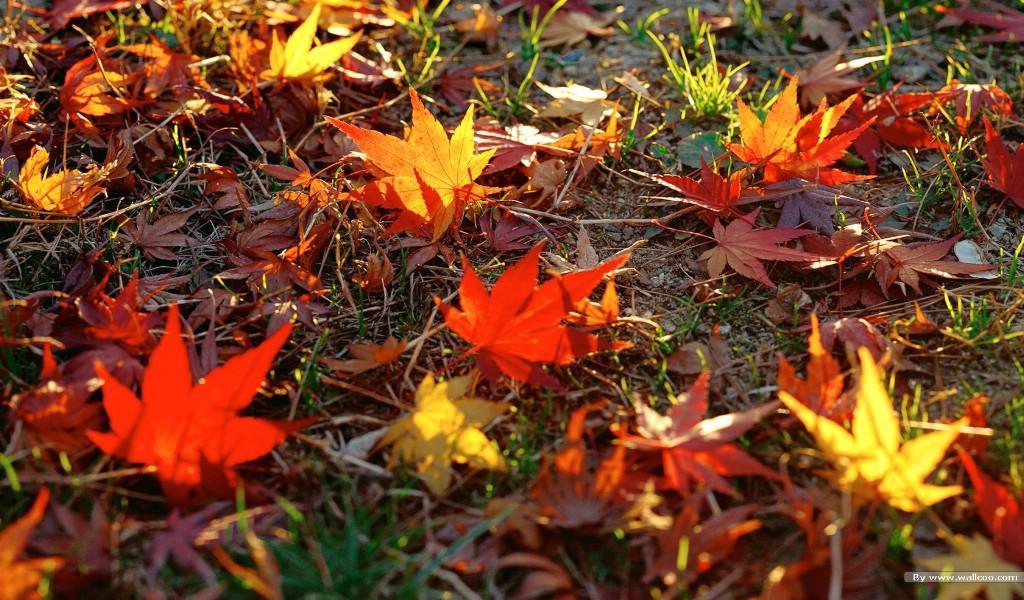 壁纸 秋天的落叶 秋天树叶摄影壁纸