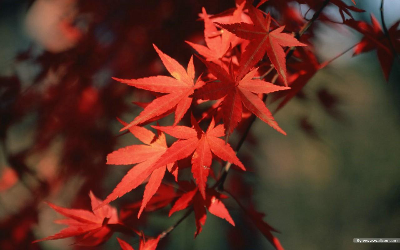 壁纸 秋天树叶 秋天红色的枫叶图片