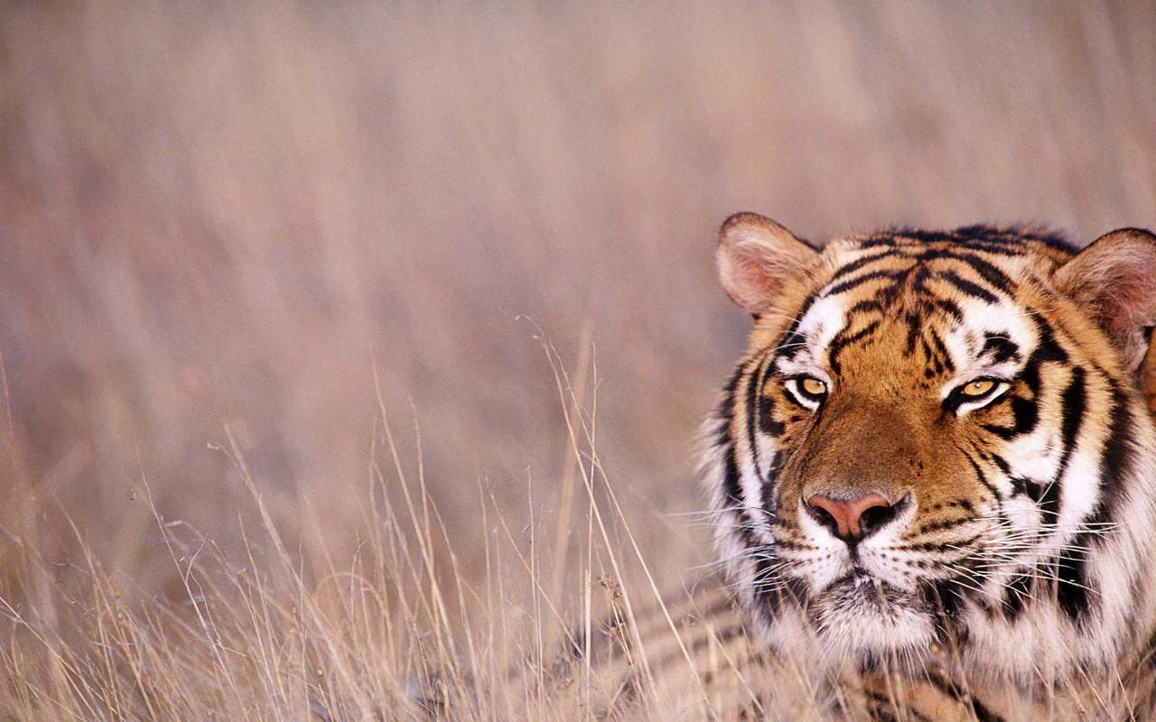 tiger壁纸