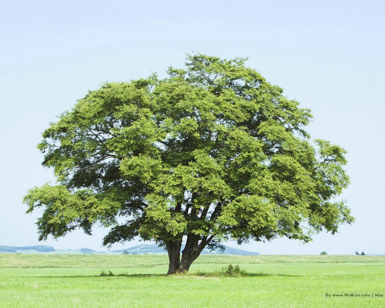 高大树木风景桌面图片_苏格兰风景图片